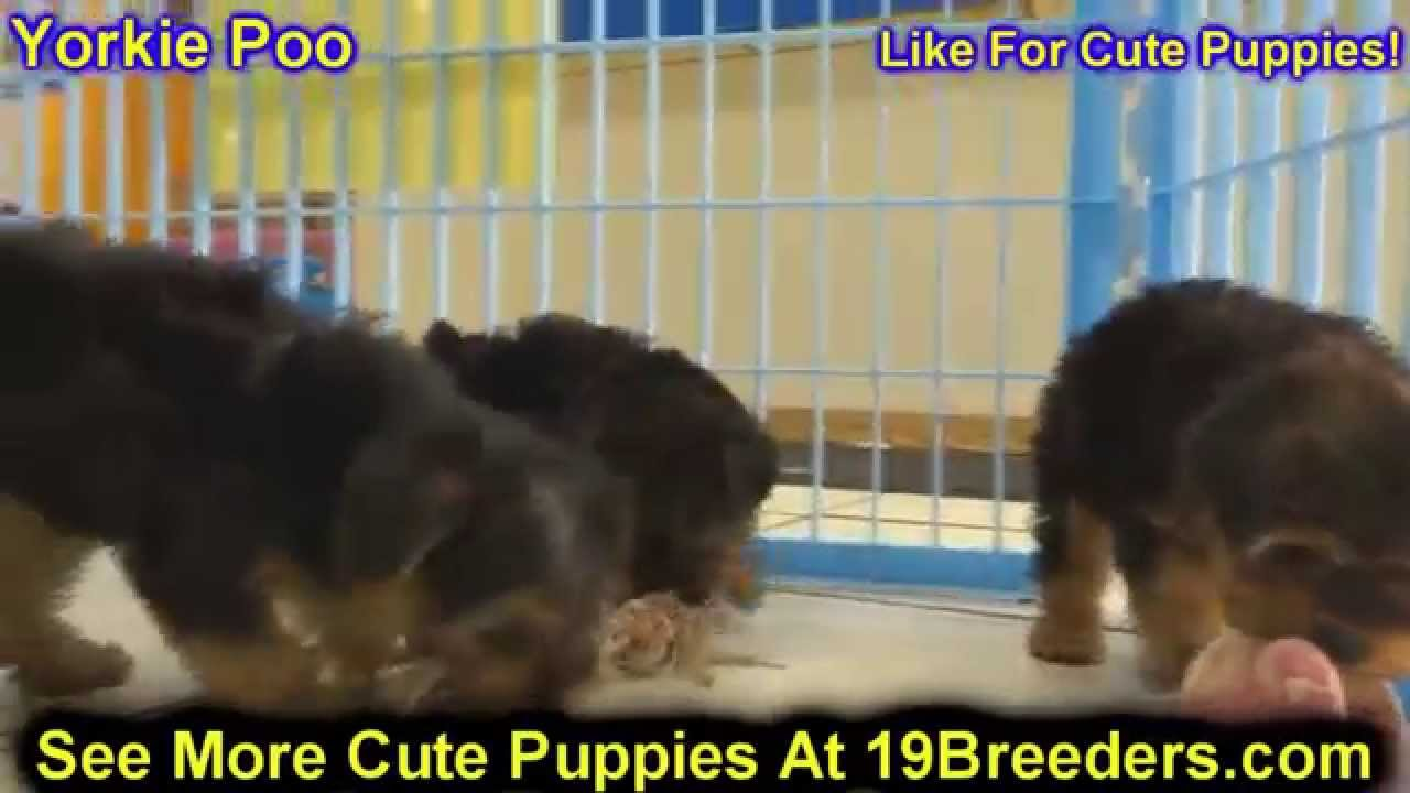 Yorkie Poo, Puppies, Dogs, For Sale, In Chicago, Illinois ...