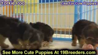 Yorkie Poo, Puppies, For, Sale, in, Mobile, County, Alabama, AL, Huntsville, Morgan, Calhoun, Etowah