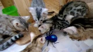 Бенгальские кошки и котята, гибриды ДЛК F2 играют с пауком