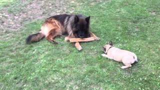 4 Months Old French Bulldog Vs.german Shepherd