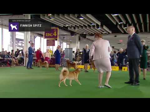Finnish Spitz | Breed Judging 2019