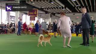 Finnish Spitz | Breed Judging …