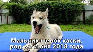 Предлагаем щенка хаски мальчика серо-белого, родился 22 июня 2018 года