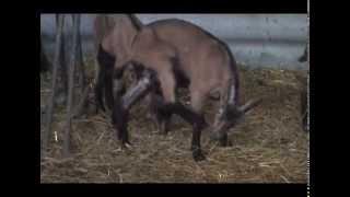 Uzgoj Koza U Selu Stari Bracin U Nasem Ataru 550