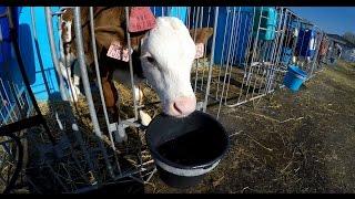 STŘEDISKO ŽIVOČIŠNÉ VÝROBY - Kněžství - VIKA Kameničná - Centre of Animal Production - Cow