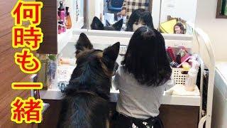 grandchild and #GermanShepherd dog#シェパード犬 大型犬・ジャーマン...