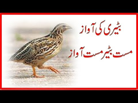 Bater Ki Latest Awaz, Batair ki Awaz, Bater , Bater fight, Bater voice , Common quail