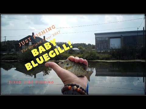Just Fishing the Holland River 2017 -  Baby Bluegills on Fixed Line