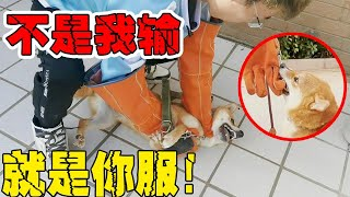 Shiba Inu protects food and bites the whole family, and the guy trains the dog to wear gloves for a
