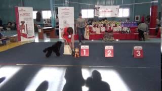 Иркутск  Моно 15.04.2017 Лучший малый пудель выставки