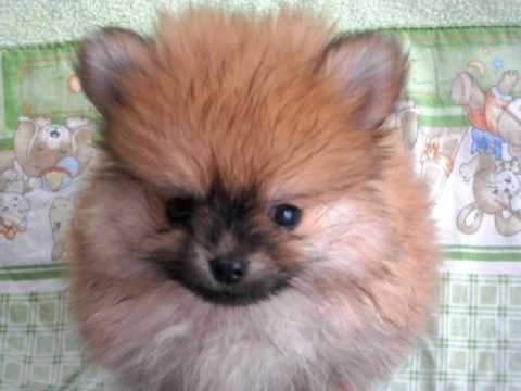 Filhote Spitz Alemão Anão(Pomeranian) - Precious Paws Oliver