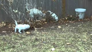 March 14th 2011 Westie Puppy Mill Rescue