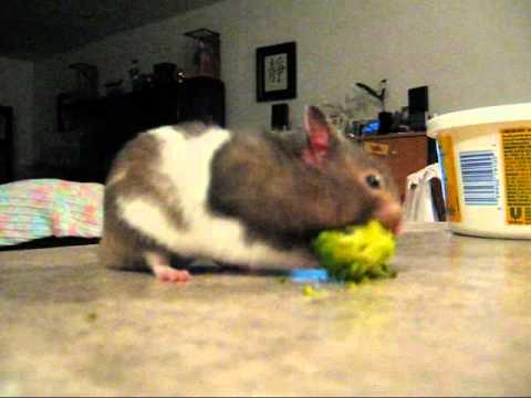 Hamster Piece Theatre: Morpheus Eating Broccoli