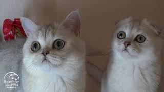 // Питомник шотландских кошек Безухов (Bezuhov) // Шотландские котята