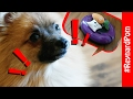 WILL HE SAVE THEM? - Pomeranian VS Robot Hoover