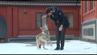 Чеченец играется с волком как будто с кошкой!!! ШОК ЧЕЧЕНЕЦ И ВОЛК!!!