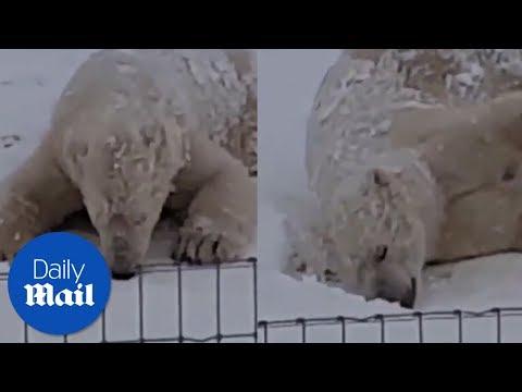 Polar bear Nissan enjoys the snow in Yorkshire - Daily Mail