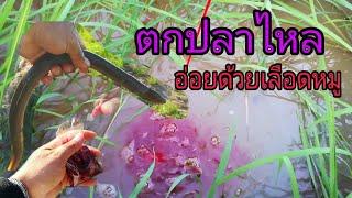 ตกปลาไหล ใส่เบ็ดปลาไหล ด้วยหมูแช่เลือด หาปลาไหล วิธีหาปลาไหล วิธีเกี่ยวเหยื่อ