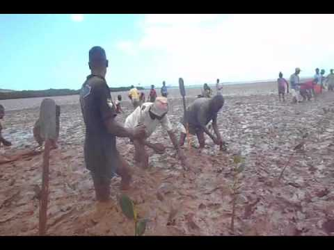 Reforestation of  Mangrove nursery  (Andranomavo)