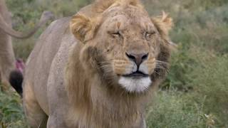 Ndutu Tanzania Action Safari 2018