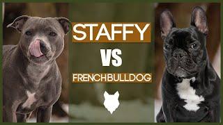 STAFFY VS FRENCH BULLDOG