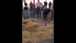 Boston Terrier Barn Hunt Fun Trial, Instinct