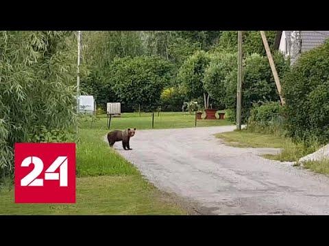 Мохнатый перебежчик: устроившего переполох в Эстонии медвежонка вернут в Россию - Россия 24
