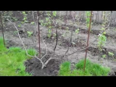 Виноград ИЗАБЕЛЛА поэтапное развитие куста №1 (1 часть)