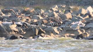 Wildlife at Conowingo Hydroelectric Dam on the Susquehanna River in Maryland