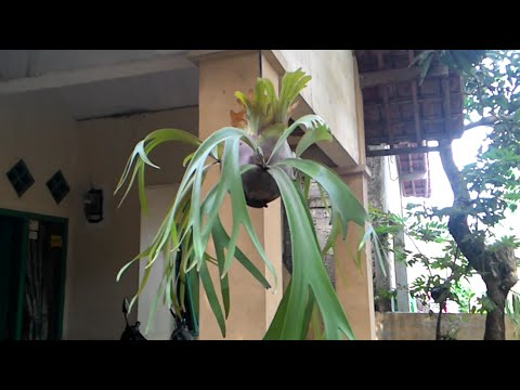 How To Make Hanging Plants - Platycerium