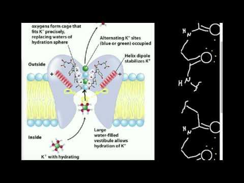 Ion Channel Selectivity: K+ Channel