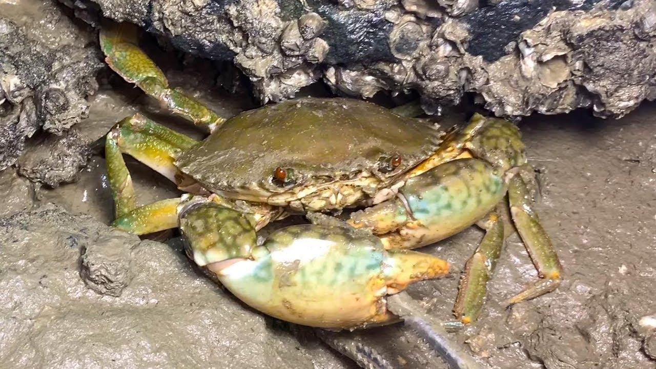 小伙深夜趕海,不費吹灰之力抓巨蟹,海鮮太多根本抓不過來【海島老二】