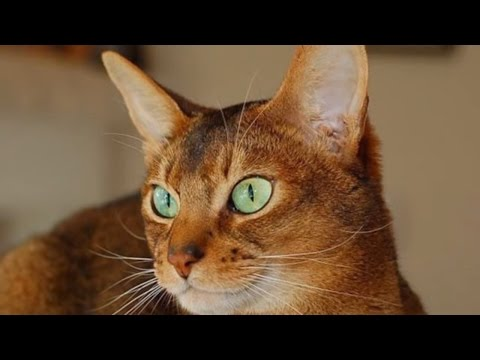 Classification of Cat Breeds, #A-B:Abyssinian cat, American Bobtail cat, American Curl | DISCOVER