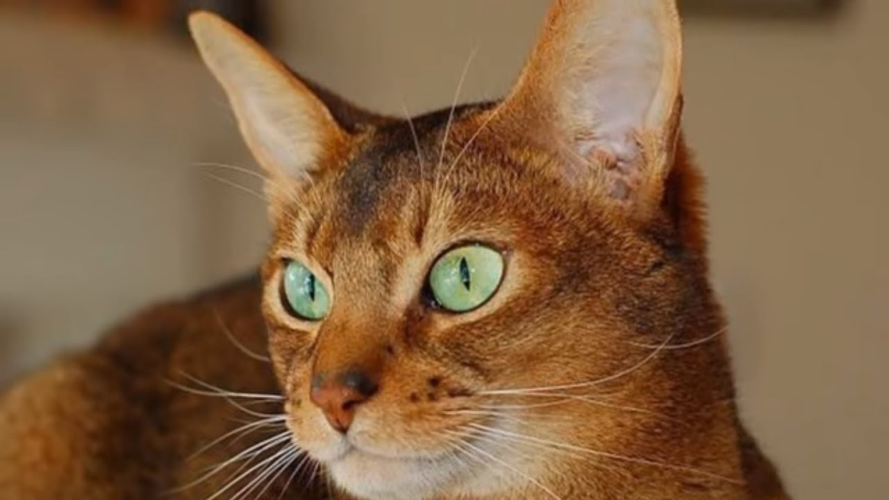 Classification of Cat Breeds, #A-B:Abyssinian cat, American ...