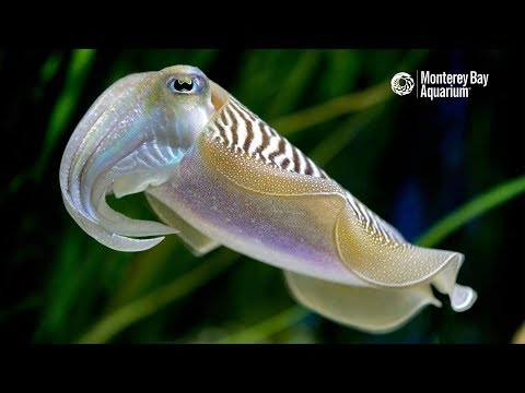 Common Cuttlefish Are Anything But Ordinary...