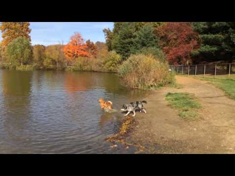 Happy Finnish Spitz played in a lake for the first time in a dog park
