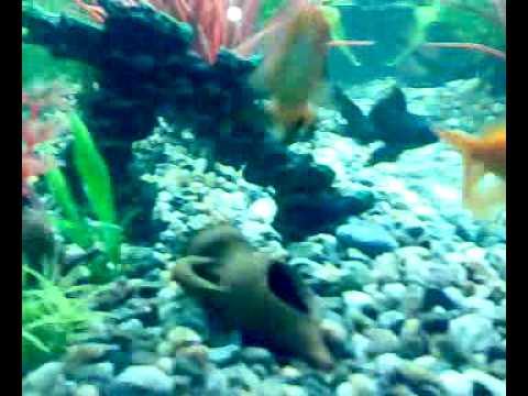 Acquario pesci rossi 100litri youtube for Pesci rossi acquario