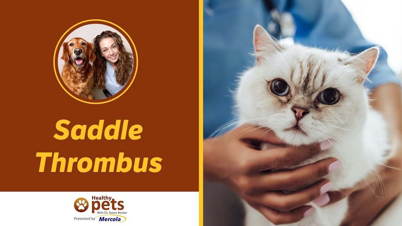 dr becker discusses saddle thrombus in pets youtube