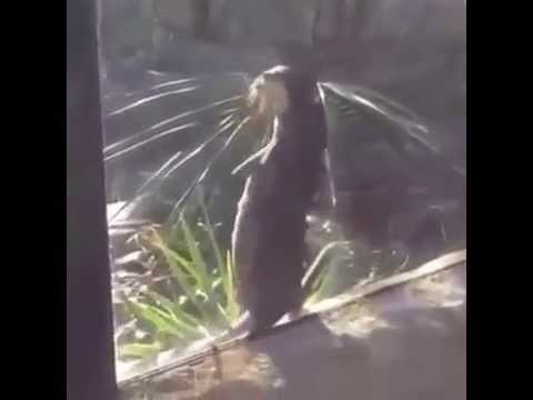 Seeotter geht ab / Sea otter dancing