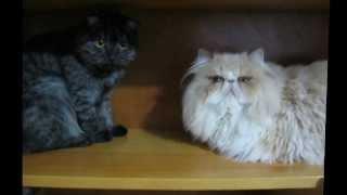 Scottish Fold vs. Persian Cat