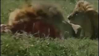 ► National Geographic Documentary - Lions vs Hyenas | HD