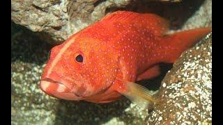 Những con cá đỏ rực hơn 1 tỷ đồng: Đại gia săn nuôi cầu may