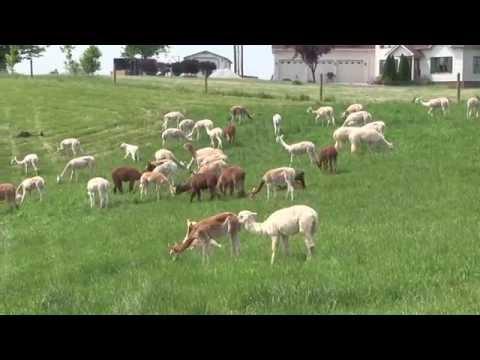 All About Alpacas – River Hill Ranch (Richmond, KY)