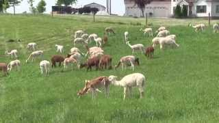 All About Alpacas - River Hill Ranch (Richmond, KY)