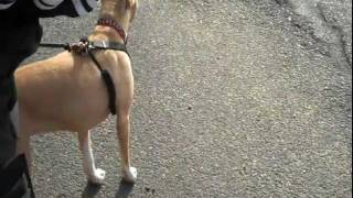 Lucy & Drayton Michaels, Ctc - Reducing Leash Reactivity  11 20 11-