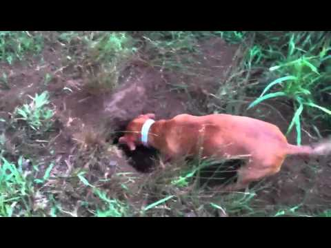 Ammo the Dachshund hunts for groundhogs