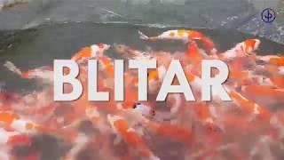 Panen Ikan Hias Koi Blitar