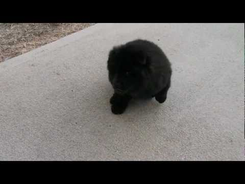 Black Chow Chow Puppy Chao 1st Groom today! He is 11 weeks old and looks so pretty