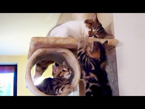 Paris, Persey Kittens and Big Brother Cat Rocky