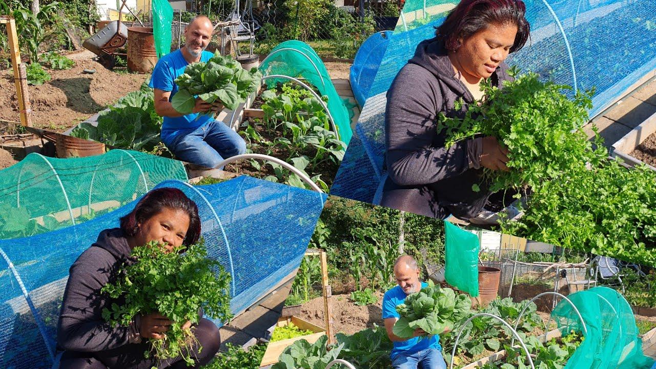 ปลูกอะรัยก้องามสวนผักคนไทยในเยอรมัน เก็บผักที่บ้านสวน
